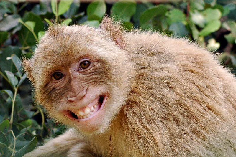 Image result for rhesus monkey