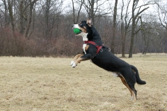 An Entlebucher Sennenhund is catching a ball in the English Garden on March 08, 2012. (Photo credit: Agency-Animal-Picture/Getty Images)