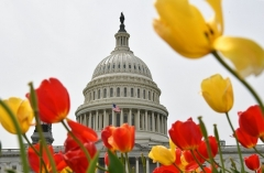 The US Capitol is seen behind a bed of tulips. (Photo by MANDEL NGAN/AFP via Getty Images)