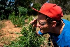 A marijuana grower and dealer prepares to sell his new harvest for sale due to the announced nationwide twenty-one day lockdown in South Africa amid worries that he wont make any sales during that period at an undisclosed location on March 25, 2020. - He wears a face mask and gloves when harvesting, trimming, and packaging of the marijuana as a preventive measure against the spread of the COVID-19 Coronavirus. (Photo by EMMANUEL CROSET/AFP via Getty Images)